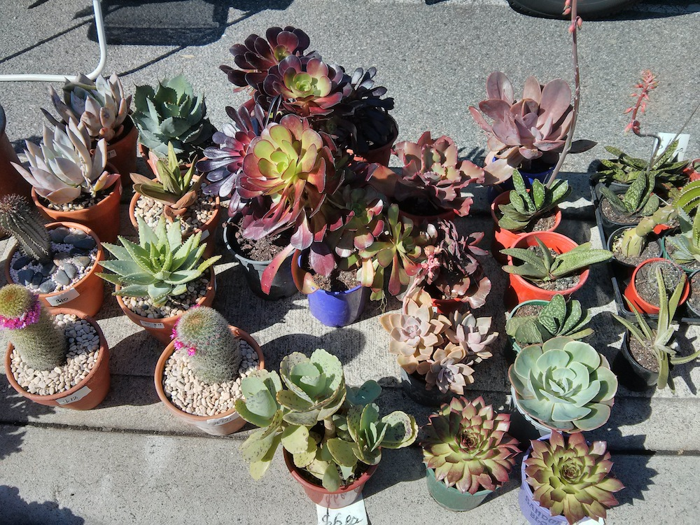 Big Succulents